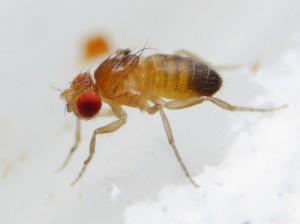 D. melanogaster attera